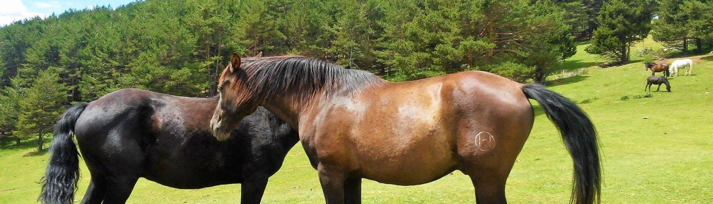 Cavalls del Pla de l'Orri